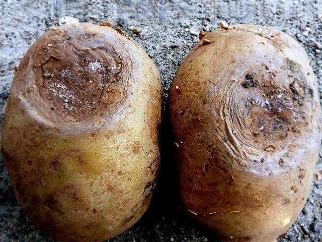 Болезни картофеля - фото 3