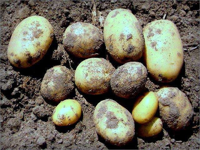 Болезни картофеля - фото 4